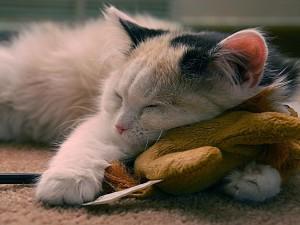 Postal: Un lindo gatito descansando encima de un peluche