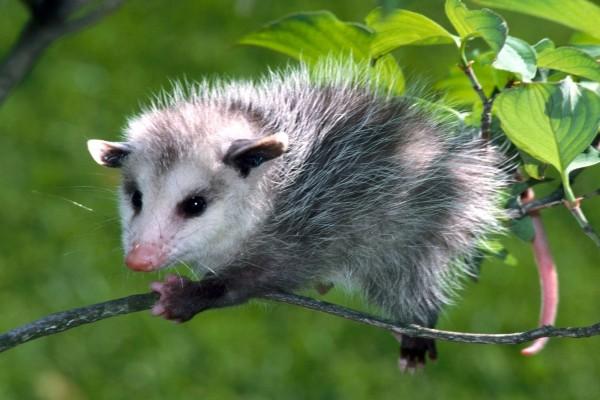 Zarigüeya sobre una rama