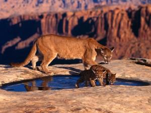 Puma con sus cachorros bebiendo agua