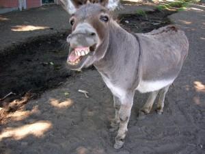 Un burro chistoso