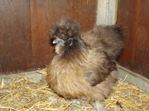 Una gallina con mucha pluma