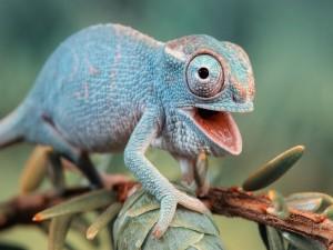 Un simpático camaleón