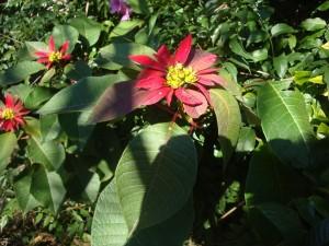 Estrella federal (Euphorbia pulcherrima)