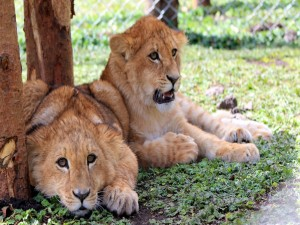 Dos cachorros de león descansando