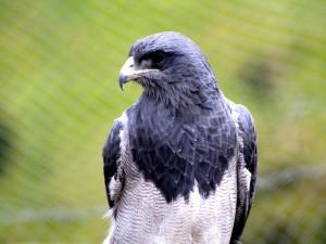 Postal: Un esbelto halcón gris