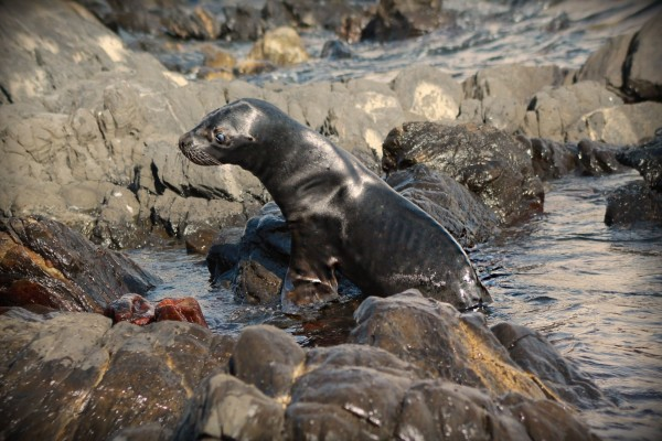Un león marino entre las piedras