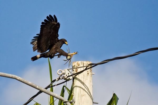 Gran halcón negro con un cangrejo en las patas