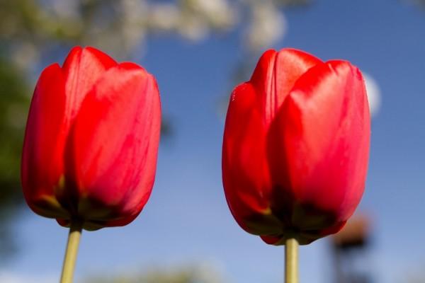 Dos bonitos tulipanes rojos