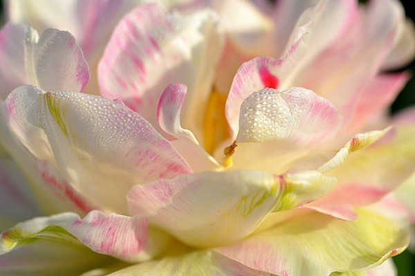 Una magnífica magnolia con gotas de rocío