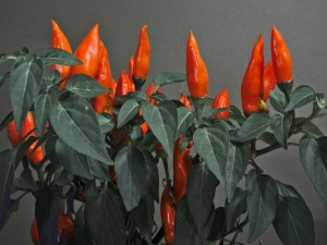 Pimientos rojos en la planta