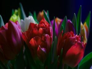 Espléndidos tulipanes de varios colores