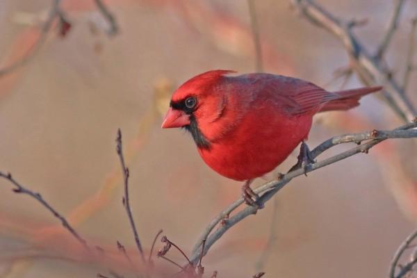 Un bello cardenal