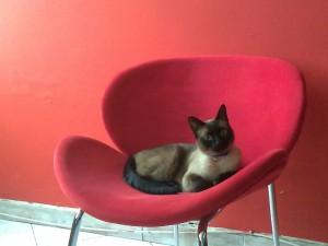 Gato siamés acostado en la silla