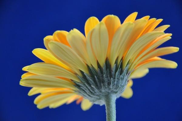 Gerbera amarilla en un fondo azul
