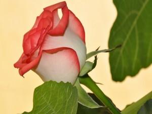 Postal: Una maravillosa rosa