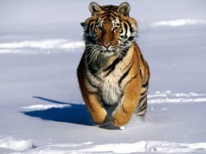 Un bello tigre siberiano corriendo en la nieve