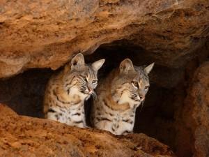 Dos linces en una cueva