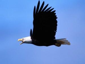 Águila calva chillando en el aire
