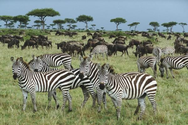 Cebras y ñus en Kenya (Africa)