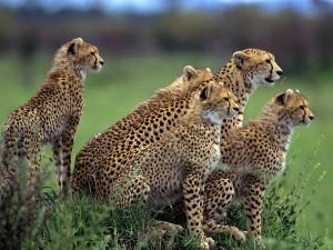 Un grupo de guepardos