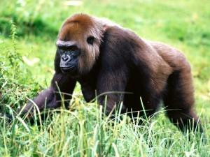 Postal: Un gran gorila caminando sobre la hierba