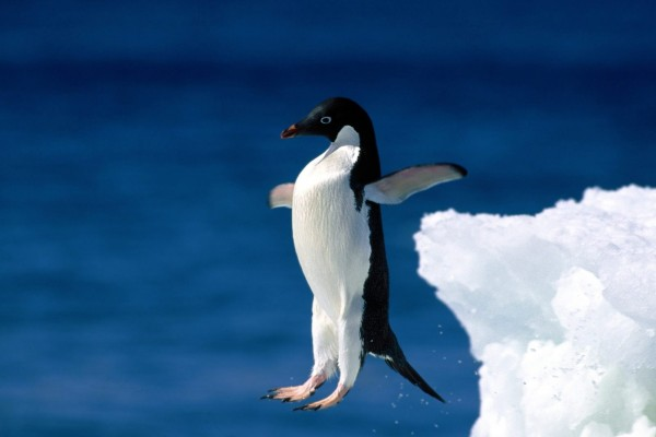 Un pingüino adelaida saltando al agua