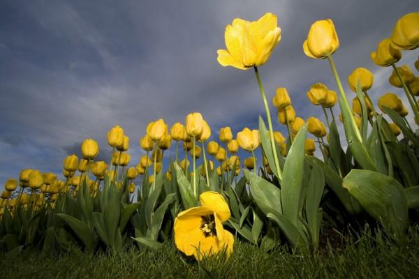 Un tulipán caído tras la lluvia en un campo de tulipanes