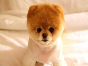 Un pequeño perro boo