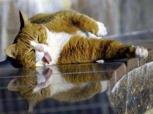 Un gato dormido con la lengua fuera