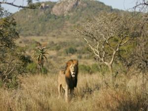 Postal: Un viejo león en África
