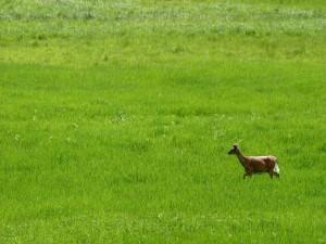 Postal: Un cervatillo caminando en la hierba