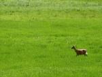 Un cervatillo caminando en la hierba