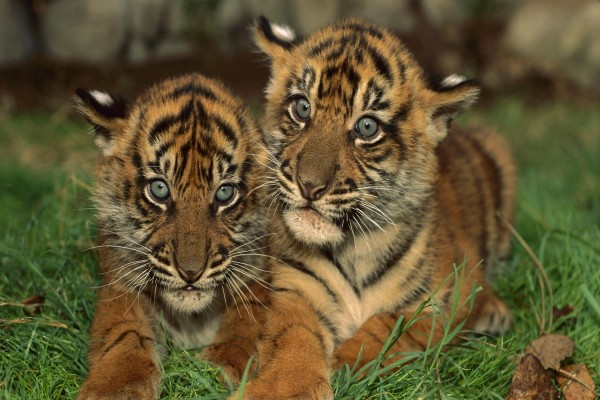 Dos pequeños tigres