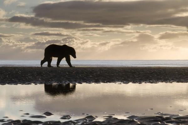 Oso pardo caminando junto a la orilla