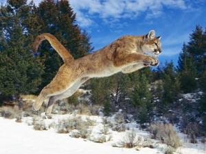 Puma saltando en la nieve