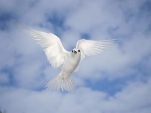 Postal: Charrán blanco (Gygis alba)