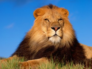 Postal: Un gran león descansando al sol
