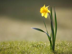 Postal: Un solitario narciso amarillo