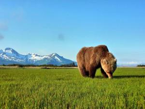 Postal: Oso pardo comiendo hierba