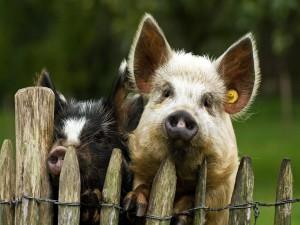 Postal: Dos cerdos asomados a la valla