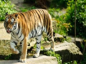 Postal: Un bonito tigre caminando sobre las rocas