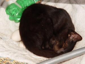 Un gato incubando huevos
