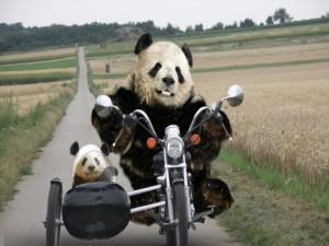 Postal: Osos panda moteros