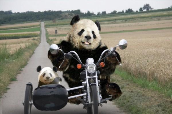 Osos panda moteros