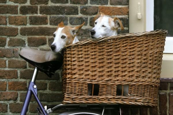 Dos perros en la cesta de una bicicleta