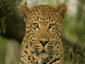 Postal: Cara a cara con un leopardo