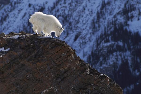 Cabra blanca en las rocas