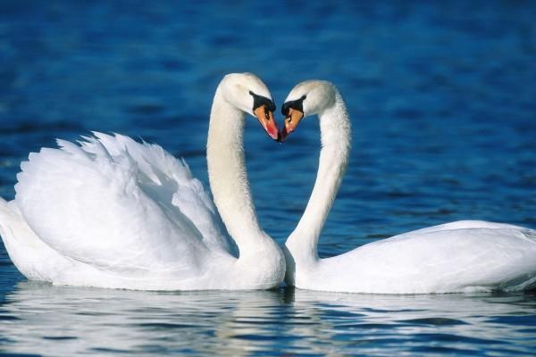 Dos bellos cisnes blancos