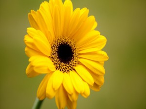 Postal: Bella gerbera amarilla