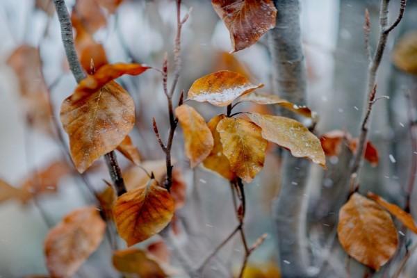 Copos de nieve sobre las hojas otoñales
